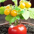 Red tomato and small yellow tomatoes — Stock Photo #34038111