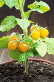 Small yellow tomatoes — Stock Photo