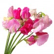 Flowers sweet pea  — Stock Photo