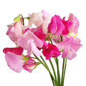 Sweet pea flowers — Stock Photo