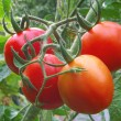 Stock Photo: Ripening organic tomatoes.