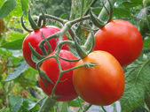 Ripening organic tomatoes. — Stock Photo