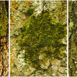 Mosses and lichens on the bark of old oak. — Stock Photo