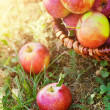 Organic apples in summer grass — Stock Photo