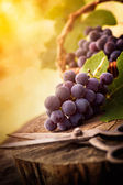 Freshly harvested grapes — Foto de Stock