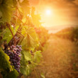 Vineyard in autumn harvest — Stock Photo #12813113