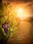 Viñedo en la cosecha de otoño — Foto de Stock