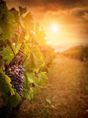 Vineyard in autumn harvest — Stock Photo