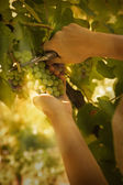 Raccolto di uve — Foto Stock