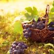 Grapes harvest — Stock Photo #30752065