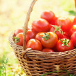 Freshly harvested tomatoes — Stock Photo