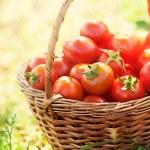Freshly harvested tomatoes — Stock Photo