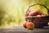 Freshly harvested apples — Stock Photo
