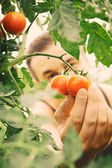 Tomato harvest — Stock Photo