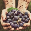 Grapes harvest — Stock Photo #44711811