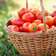 Freshly harvested tomatoes — Stock Photo #49964669