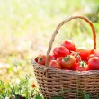 Freshly harvested tomatoes — Stock Photo #49964961