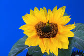 Fresh Sunflower with blue sky background — Stockfoto