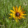 Green grass lawn with yellow flower — Stock Photo