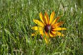 Zielona trawa trawnik z żółty kwiat — Zdjęcie stockowe