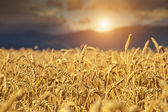 Rye Field at Sunset — Stock Photo