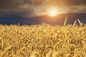 Rye Field at Sunset — Stock Photo