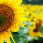 Sunflower field. — Stock Photo #24681567