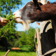 Goat in the farm — Stock Photo