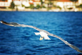 Seagull, flying over blue sea — Stockfoto