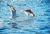Seagull, flying over blue sea — Stok fotoğraf