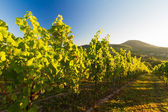 Vineyard and hilly landscape in Pfalz, Germany — Stock Photo