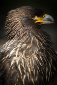 Steppe Eagle (lt. Aquila nipalensis) — Stock Photo