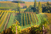 Vineyards at autumn, Pfalz, Germany — Stock Photo
