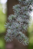 "Branch of a Atlas Cedar (lat. Cedrus atlantica ""Glauca"") — Stock Photo"