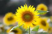 Sunflower (lat. Helianthus) at summertime, Germany — Stock Photo