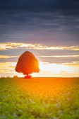 Tree at sunset with sugar-beets, Pfalz, Germany — Stock Photo
