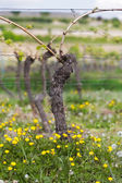 Vine with flower at summertime, Pfalz, Germany — Stock Photo