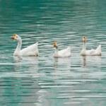 Goose swimming — Stock Photo
