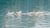 鹅游泳 — 图库照片