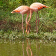 Stock Photo: Flamingo birds in love