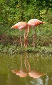 Flamingo birds in love — Stock Photo