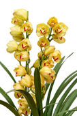 Cymbidium — Stock Photo