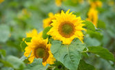 Helianthus annuus — Stock Photo