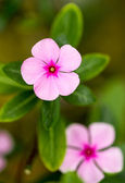 Rose periwinkle — Stock Photo