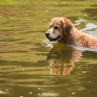 Royalty-Free Stock Photo: A swimming dog