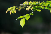 Green leaf on a tree branch — Stock Photo