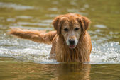 A swimming dog — Stock Photo