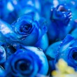 Stock Photo: Blue rose