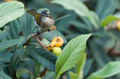 Bulbul light-vented bird — Stock Photo