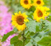 Helianthus annuus flower — Stock Photo